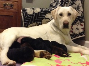 March 2015 Lab Pups
